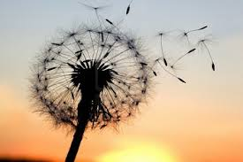 Dandelion seeds blowing in the wind against a sunset backdrop.
